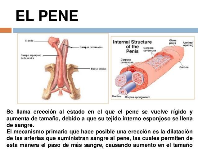 cuales son las partes externas del pene