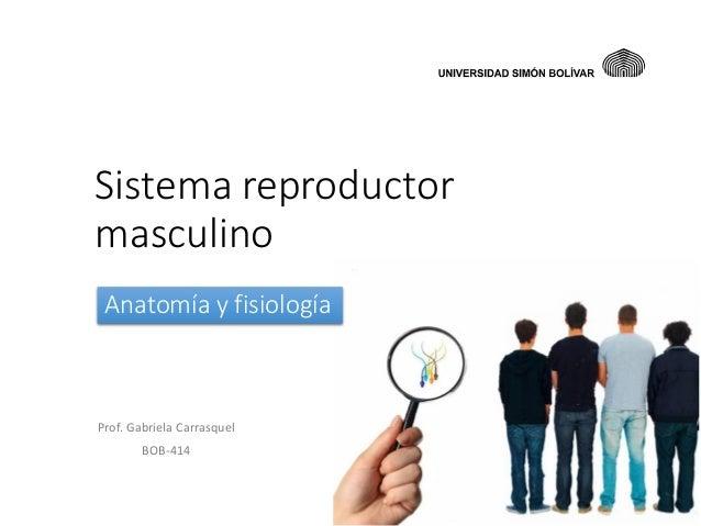 Sistema reproductor masculino Anatomía y fisiología  Prof. Gabriela Carrasquel BOB-414