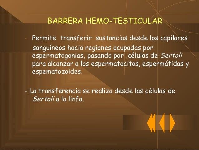 BARRERA HEMO-TESTICULAR (cont.) OTRAS FUNCIONES:  Permite a las células de Sertoli aportar nutrientes a los espematozoide...