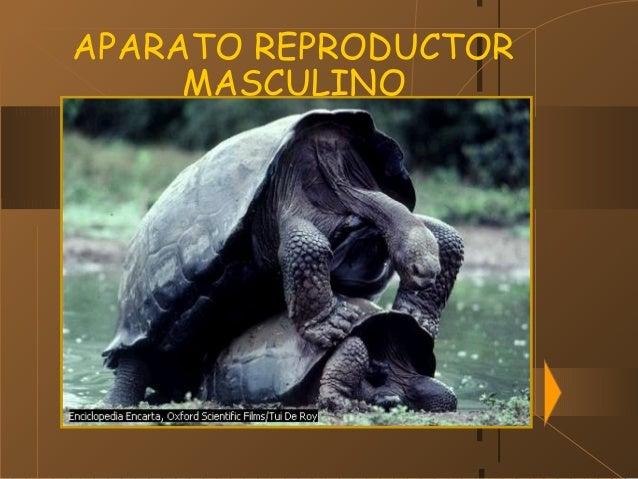 29/01/15 APARATO REPRODUCTOR MASCULINO .