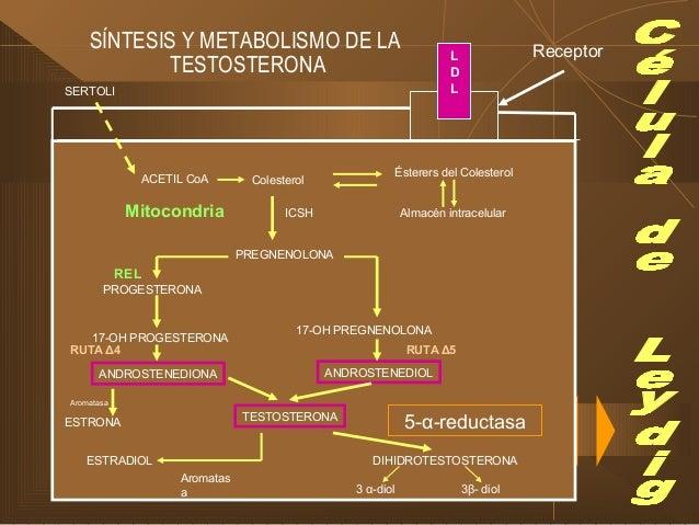 FUNCIONES DE LOS ANDRÓGENOS I. DIFERENCIACIÓN SEXUAL Efectos clásicos de la didridrotetosterona:  Próstata  Glándulas Ve...