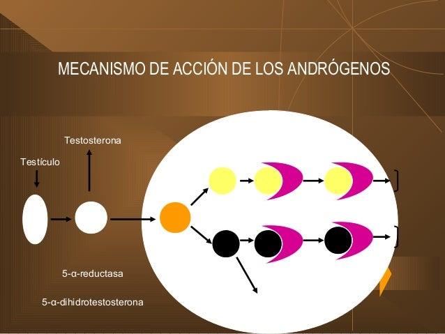 FUNCIONES DE LOS ANDRÓGENOS DE LOS ANDRÓGENOS (cont.) II. Espermatogénesis: En etapa avanzada III. Desarrollo de órganos y...
