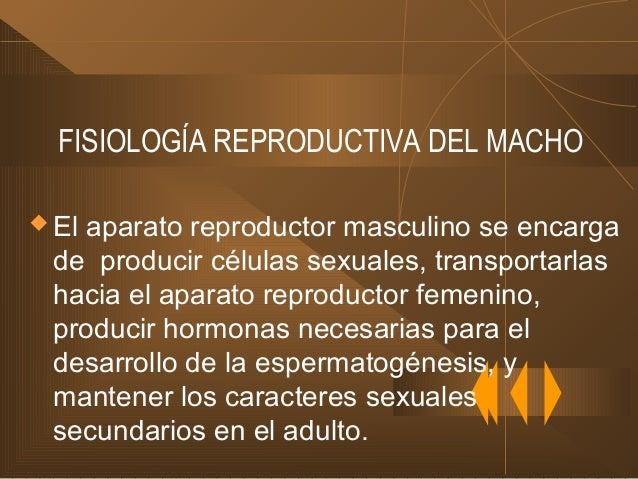 FISIOLOGÍA REPRODUCTIVA DEL MACHO  El aparato reproductor masculino se encarga de producir células sexuales, transportarl...