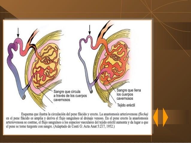 Aparato reproductor masculino_v_30-06-08[1]