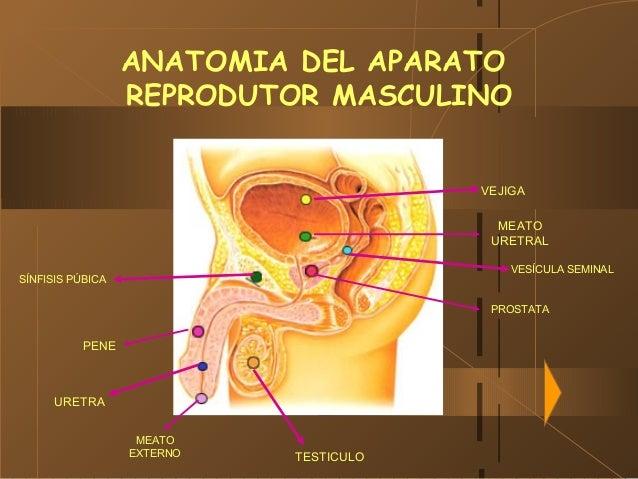 29/01/15 ANATOMIA DEL APARATO REPRODUTOR MASCULINO VEJIGA MEATO URETRAL PROSTATA VESÍCULA SEMINAL SÍNFISIS PÚBICA TESTICUL...
