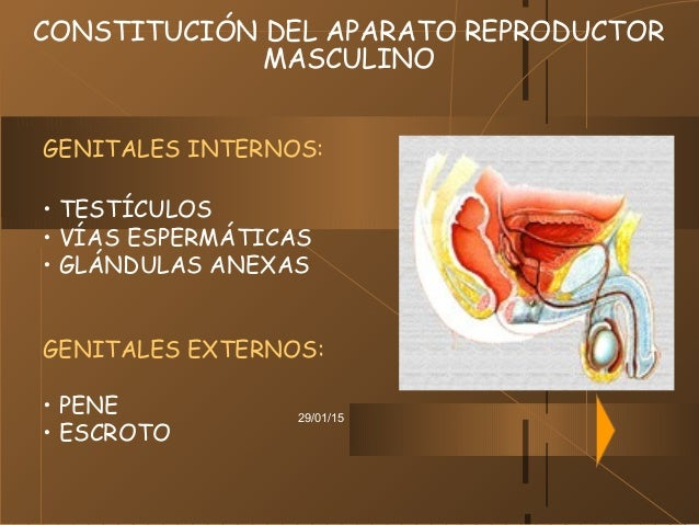 29/01/15 CONSTITUCIÓN DEL APARATO REPRODUCTOR MASCULINO GENITALES INTERNOS: • TESTÍCULOS • VÍAS ESPERMÁTICAS • GLÁNDULAS A...