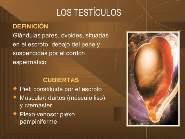 LOS TESTÍCULOS DEFINICIÓN Glándulas pares, ovoides, situadas en el escroto, debajo del pene y suspendidas por el cordón es...