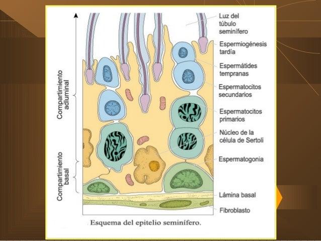 LOS TESTÍCULOS (cont.) TÚBULOS SEMINÍFEROS  Dentro de los túbulos Células germinales: 1. Compartimiento basal: espermatoz...