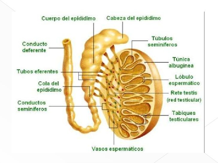 Moderno Anatomía Del Testículo Y El Epidídimo Imagen - Anatomía de ...