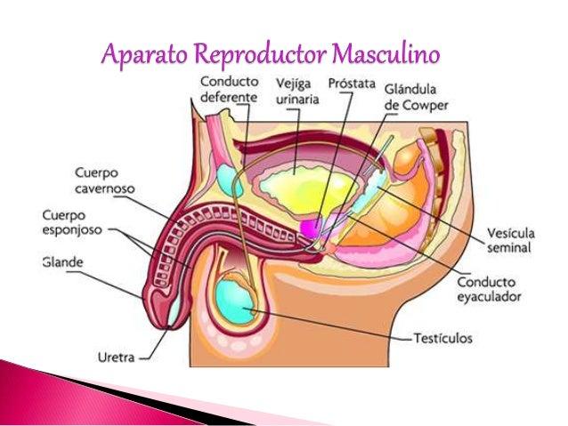 Aparato reproductor masculino zjs