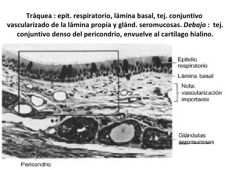 Tráquea : epit. respiratorio, lámina basal, tej. conjuntivo  vascularizado de la lámina propia y glánd. seromucosas.  Deba...