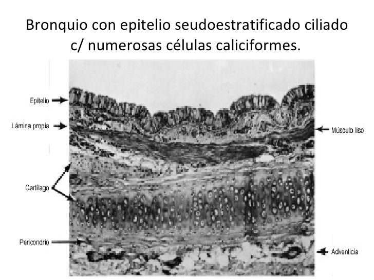 Bronquio con epitelio seudoestratificado ciliado c/ numerosas células caliciformes.