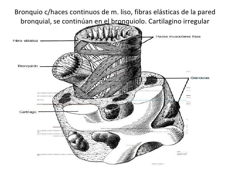 Bronquio c/haces continuos de m. liso, fibras elásticas de la pared bronquial, se continúan en el bronquiolo. Cartilagino ...