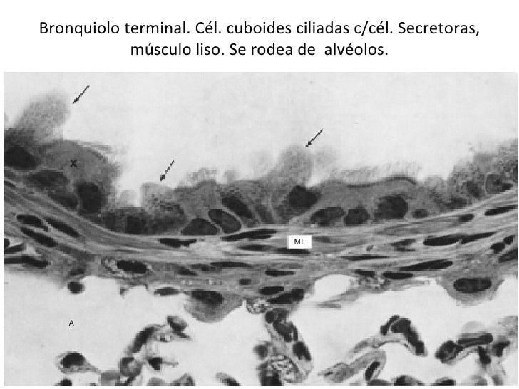Bronquiolo terminal. Cél. cuboides ciliadas c/cél. Secretoras, músculo liso. Se rodea de  alvéolos.