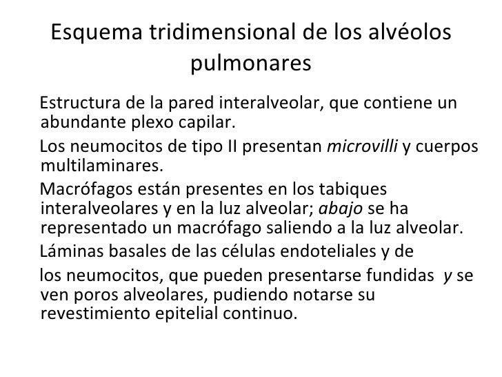 Esquema tridimensional de los alvéolos pulmonares <ul><li>Estructura de la pared interalveolar, que contiene un abundante ...