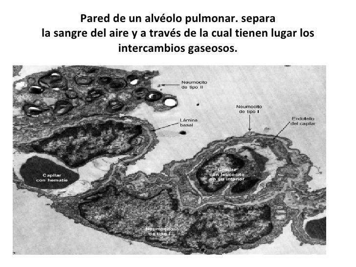 Pared de un alvéolo pulmonar. separa la sangre del aire y a través de la cual tienen lugar los intercambios gaseosos.
