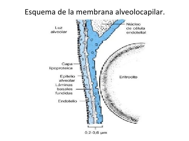 Esquema de la membrana alveolocapilar.