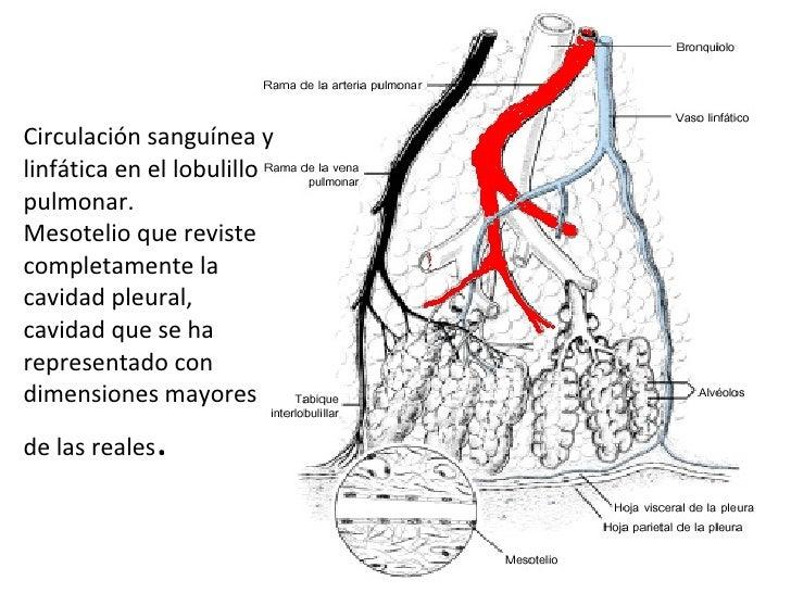 Circulación sanguínea y linfática en el lobulillo pulmonar.  Mesotelio que reviste completamente la cavidad pleural, cavid...