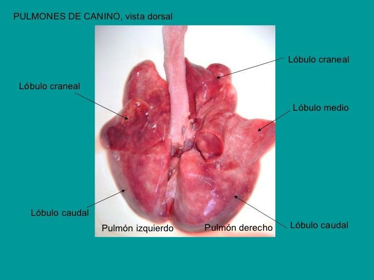Increíble Lóbulos De La Anatomía Pulmones Festooning - Anatomía de ...