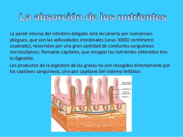La pared interna del intestino delgado está recubierta por numerosospliegues, que son las vellosidades intestinales (unas ...