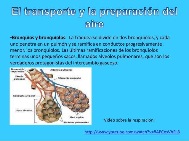 •Bronquios y bronquiolos: La tráquea se divide en dos bronquiolos, y cadauno penetra en un pulmón y se ramifica en conduct...