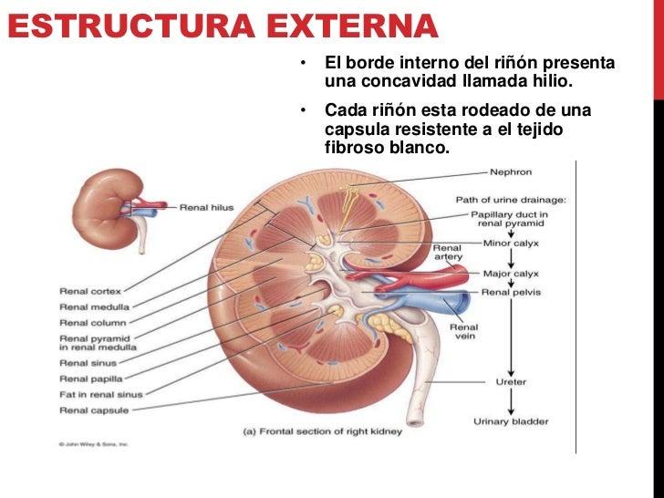 Magnífico Anatomía Interna Del Riñón Cresta - Anatomía de Las ...
