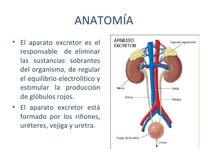 Hermosa Anatomía Del Tracto Urinario Patrón - Anatomía de Las ...