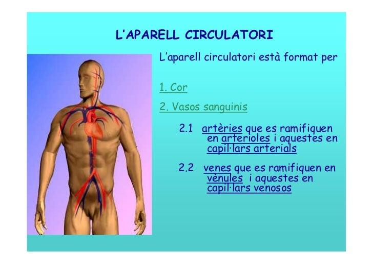 L'APARELL CIRCULATORI     L'aparell circulatori està format per     1. Cor     2. Vasos sanguinis         2.1 artèries que...