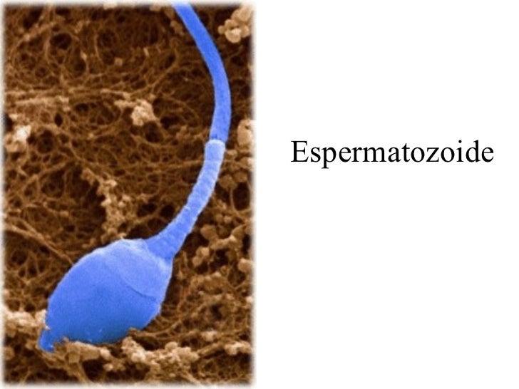 Espermatozoide