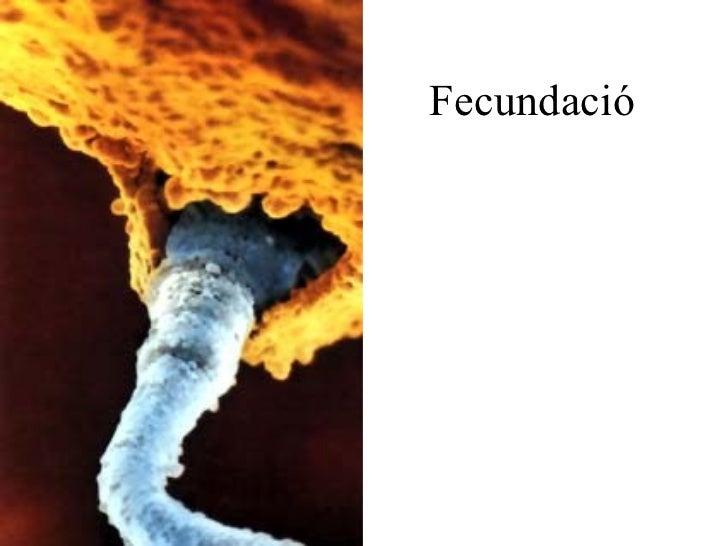 Fecundació