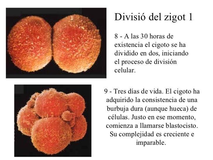 Divisió del zigot 1 8 -  A las  30 horas  de existencia el cigoto se ha dividido en dos, iniciando el proceso de división ...