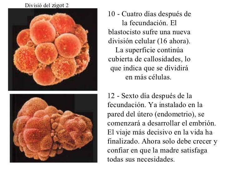 Divisió del  zigot  2 10 - Cuatro días  después de la fecundación. El blastocisto sufre una nueva división celular (16 aho...