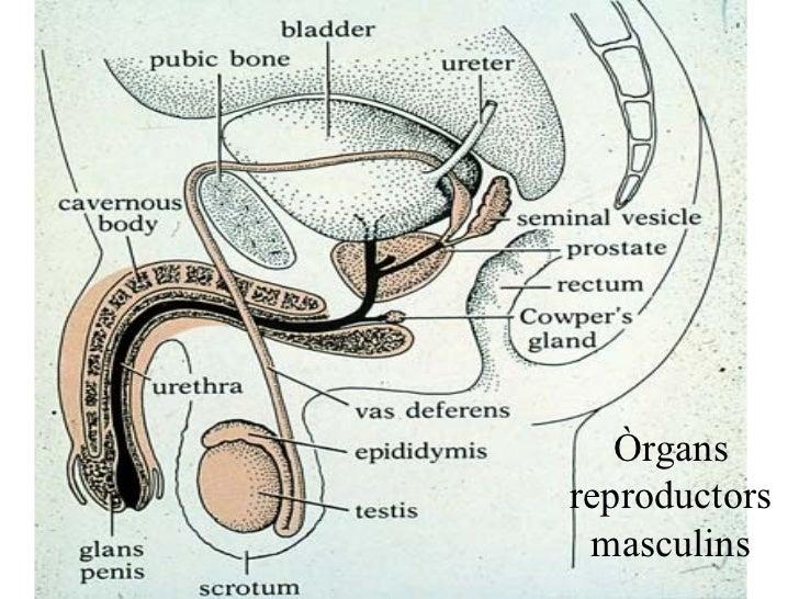 Òrgans reproductors masculins