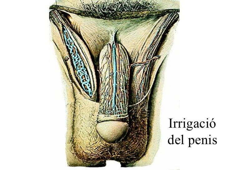 Irrigació del penis