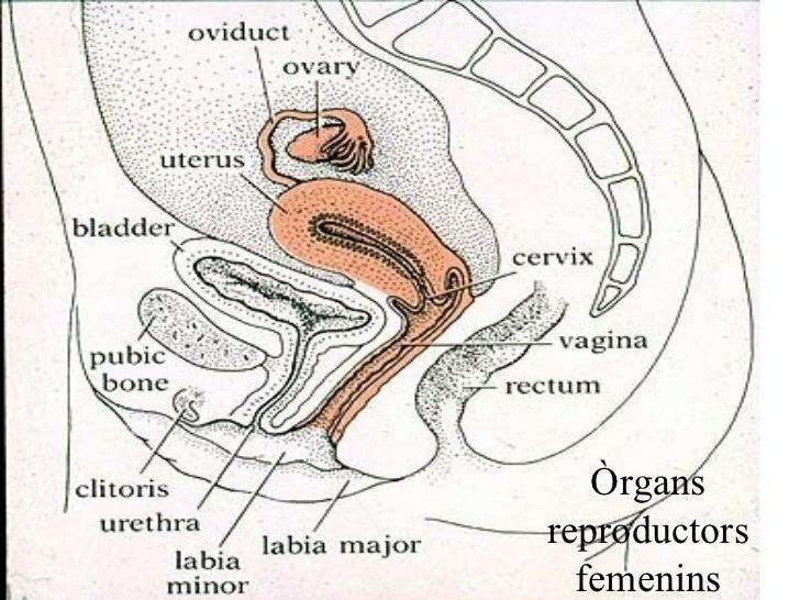 Òrgans reproductors femenins
