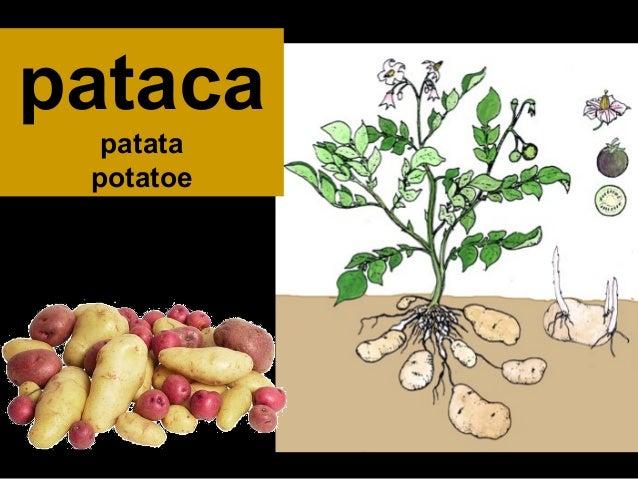 pataca patata potatoe