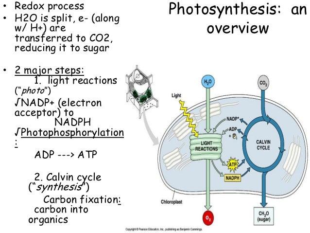 essay photosynthesis process