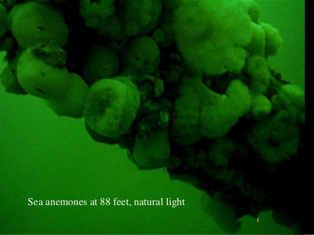 Sea anemones at 88 feet, natural light 1