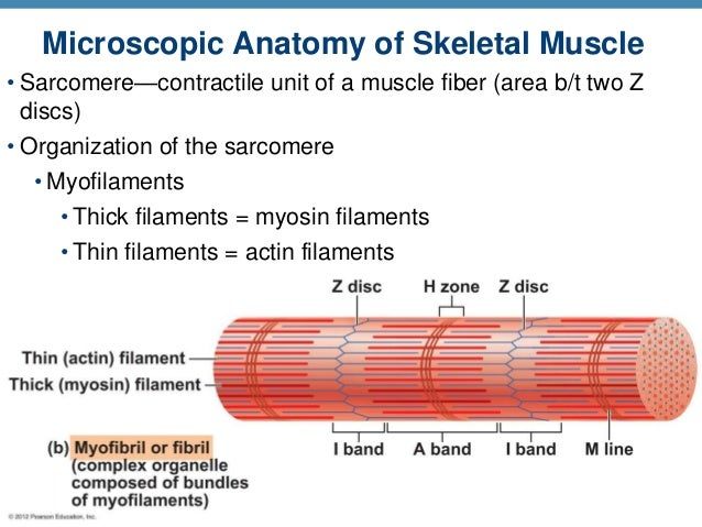 A & P Ch 6 Musclular System Student PPT