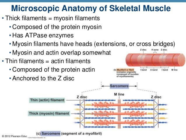A P Ch 6 Musclular System Student Ppt