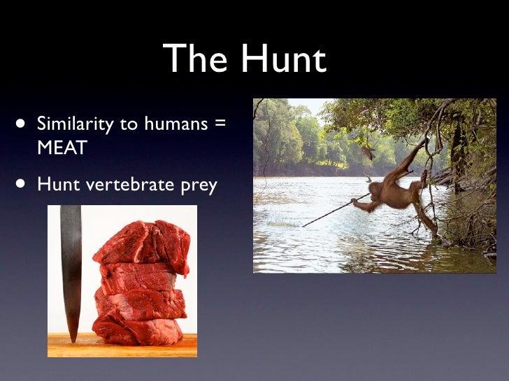 The Hunt • Similarity to humans =   MEAT • Hunt vertebrate prey