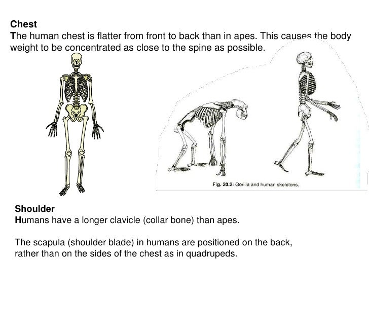 apes vs humans & skeletal differences, Skeleton