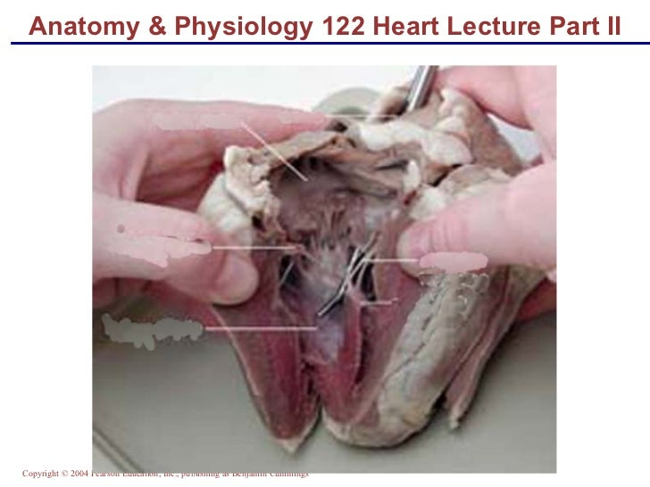 Anatomy & Physiology 122 Heart Lecture Part II