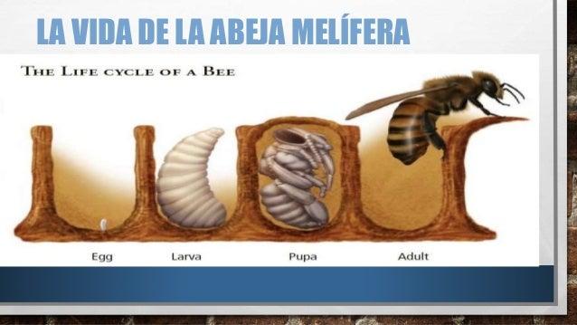 apicultura producci u00f3n de abejas