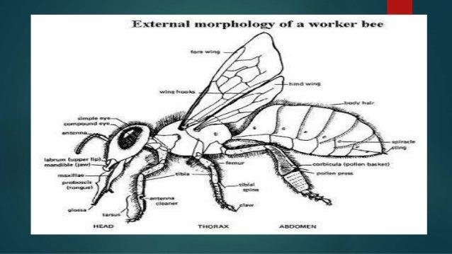 Morphology Of Honey Bee
