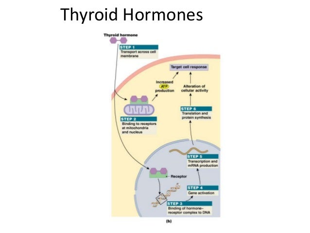 which of the following endocrine glands is directly controlled by the autonomic nervous system Skeletal muscles and glands, whereas the somatic nervous system  in all of the following  directly controlled by the autonomic nervous system.
