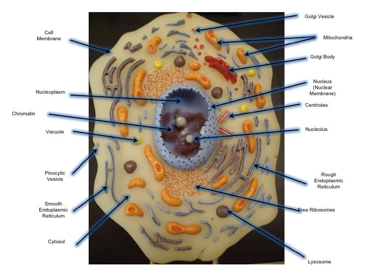 1 Human Anatomy Lab Exam Diagrams Free Vehicle Wiring Diagrams