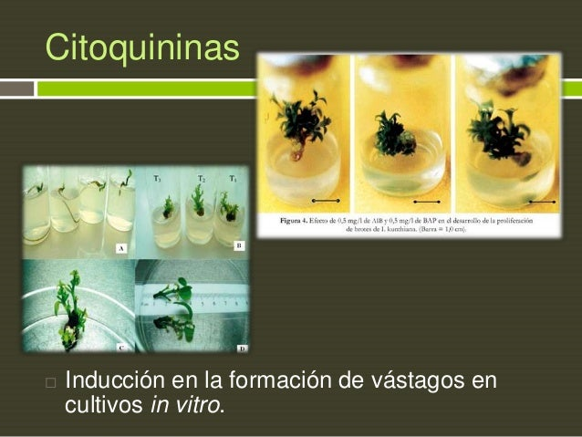 Citoquininas    Inducción en la formación de vástagos en cultivos in vitro.
