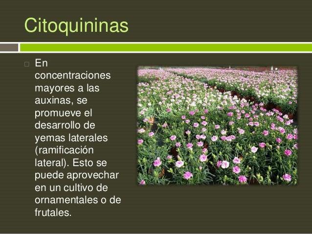 Citoquininas   En concentraciones mayores a las auxinas, se promueve el desarrollo de yemas laterales (ramificación later...