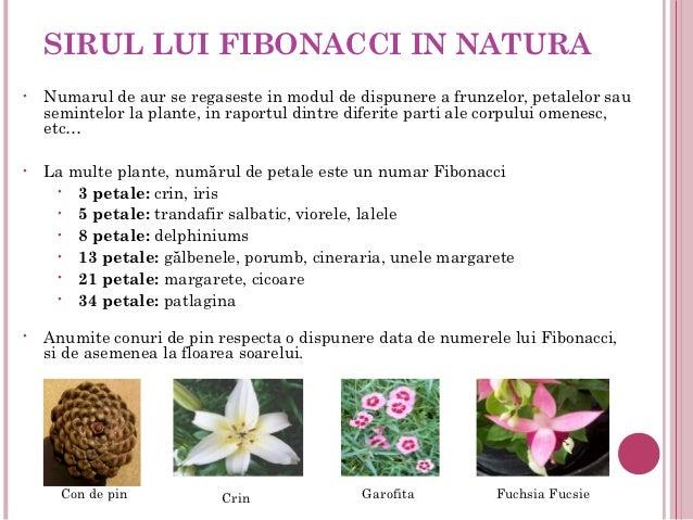 SIRUL LUI FIBONACCI IN NATURA•   Numarul de aur se regaseste in modul de dispunere a frunzelor, petalelor sau    semintelo...
